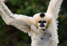 Hanging monkey. Outside at Denver, zoo, USA stock images