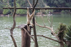 Hanging Monkey - Sao Paulo Zoo. A monkey hanging by the lake, in an Island in Sao Paulo Zoo, Brazil Royalty Free Stock Image