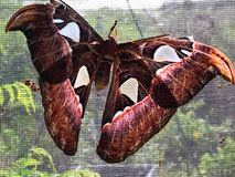 Hanging Moth. This large moth is still maturing and hanging onto a screen Stock Photo
