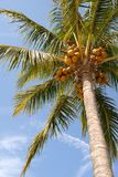 Hanging nuts. Looking up a coconut palm tree Stock Photos