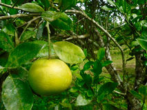 Hanging Orange. Unripe orange hanging on a tree in Belize Royalty Free Stock Photography
