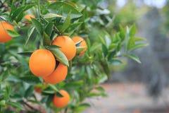 Hanging oranges on branch in the orange garden Royalty Free Stock Photos