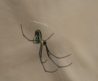 Hanging Orchard Spider Stock Photo