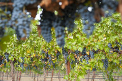 Hanging organic wine grapes, California. Royalty Free Stock Photo