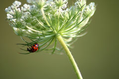 Hanging Out. Ladybug climbing on a flower Stock Photo