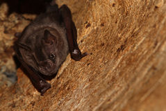 Hanging out Bat Royalty Free Stock Photos
