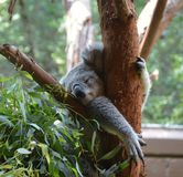 Hanging out at the Zoo. Here is a cute picture of a Koala at the local zoo Royalty Free Stock Photo