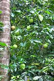 Hanging Passion Fruits in Vine Stock Image