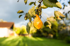 Hanging Pear Royalty Free Stock Images
