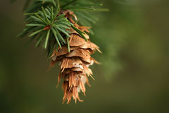 Hanging pine cone stock images