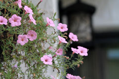 Hanging pink flowers. Potted hanging pink flowered plant outdoors Royalty Free Stock Images