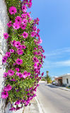 Hanging pink spanish daisies on wall near street Royalty Free Stock Photos
