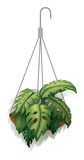 A hanging plant Royalty Free Stock Photo