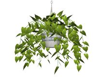 Hanging plant isolated. Philodendron plant hanging from basket, isolated on white background Stock Images