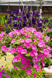 Hanging Planter of Petunias Royalty Free Stock Photography