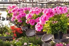 Hanging pot of Geranium  in greenhouse Stock Photos