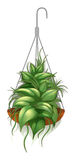 A hanging pot with a green plant Stock Image