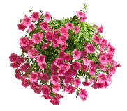 Hanging pot with pink althea flowers isolated Stock Photos