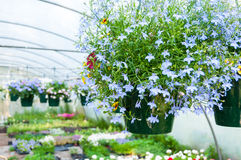 Hanging pots of flowers in greenhouse Stock Photo