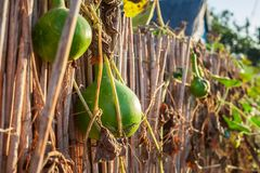 Hanging pumpkins on a rustic fence in Mila 23, Danube Delta, Romania stock photography