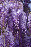 Hanging Purple Flowers. Anging ppurple flowers from a tree in early spring Stock Image