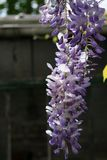Hanging purple Wisteria flowers in front of shed royalty free stock image