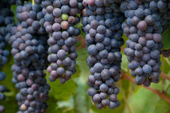 Hanging Red Grapes. Ripe, ready for harvesting hanging red grapes Royalty Free Stock Photo