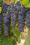 Hanging Red Grapes Royalty Free Stock Photos
