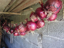 Hanging red onion collection Royalty Free Stock Photo