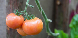 Hanging ripe red tomato. In farmland Stock Photos