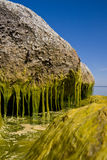 Hanging seaweed. A photo of a big stone with hanging algaes / seaweed Royalty Free Stock Photos