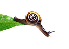 Hanging snail. Snail hanging from green leaf with white background royalty free stock photo