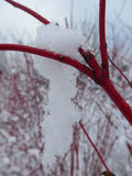 Hanging snow from a Cornus alba in the winter time Stock Images