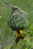 Hanging on. Southern-masked Weaver male building nest Stock Image