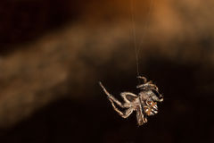 Hanging Spider. A Spider (Plexippus Paykulli) hanging from a thread and looking at you royalty free stock photography