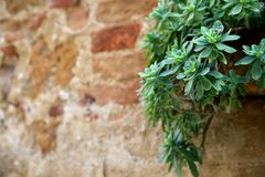 Hanging Succulent on Brick Wall on Left in Tuscany Royalty Free Stock Photos