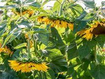 Hanging sun flower heads due to dryness. close up stock photography