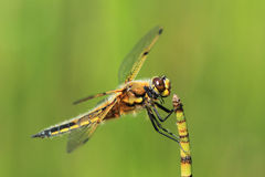 Hanging on in There. A close up of a Four-spotted Chaser Dragonfly (Libellula quadrimaculata)on the stem of a waterplant royalty free stock image
