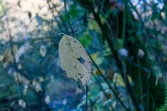 Hanging in there. A single yellow leaf hanging on to the tip of a branch in autumn Stock Image