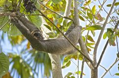 Hanging Three-toed Sloth Royalty Free Stock Photography