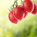 Hanging tomatoes in sunny garden Stock Image