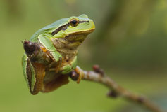 Hanging tree frog Royalty Free Stock Photo