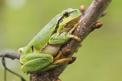 Hanging tree frog Royalty Free Stock Image