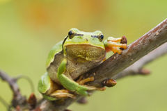 Hanging tree frog Royalty Free Stock Photography