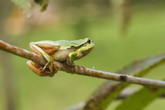 Hanging tree frog Stock Images