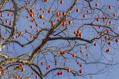Hanging on a tree of persimmons. Tree without leaves with ripe persimmon fruit royalty free stock photo