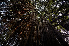 Hanging Tree roots in the air Stock Images