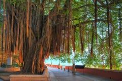 Hanging tree San Juan. Beautiful tree with aerial roots at the boardwalk in San Juan, Puerto Rico royalty free stock photo