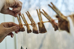 Hanging used tea bags on the clothesline with clothes pegs Royalty Free Stock Photo