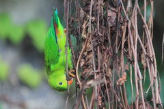 Hanging vernal parrot. On the branches Stock Images